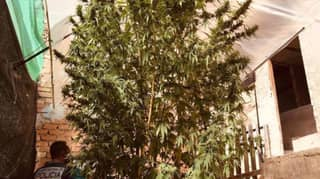 Two Arrested After 16-Foot-Tall Cannabis Plant Seized By Police In Spain