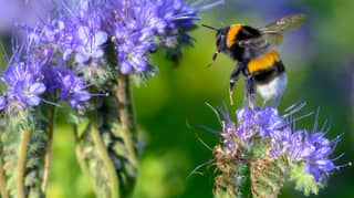 Increase In US Cannabis Production Is Providing A 'Unique Floral Resource' For Bees