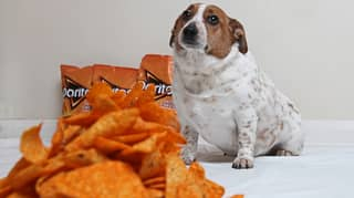 Dog Ballooned To Almost Double Normal Weight After Gorging On Cheesy Doritos