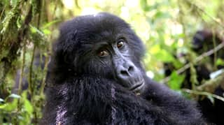 Six Park Rangers Killed On Patrol At Mountain Gorilla National Park