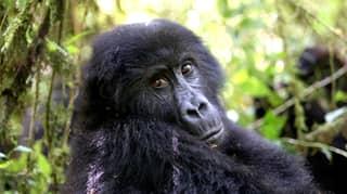 Six Park Rangers Killed On Patrol At Mountain Gorilla National Park