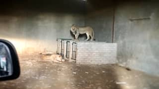The Moment 10 Lions Are Rescued From Farm In South Africa