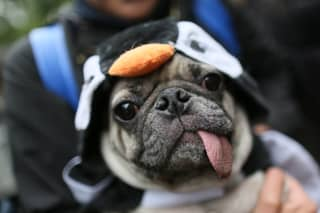 Experts Reveal Why You Should Never Ever Buy A Pug