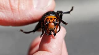 Scientists Are Racing To Capture 'Murder Hornets' Before Their Numbers Increase