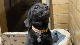 Black Labrador Smiles At People To Get Them To Adopt Him From Shelter