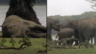 Heartbreaking Moment Herd Of Elephants Pays Last Respects To Dead Leader