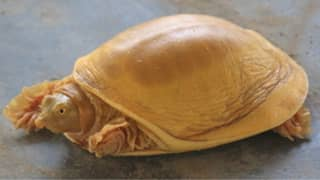 Rare Turtle Born With Golden Shell Is Worshipped As A God