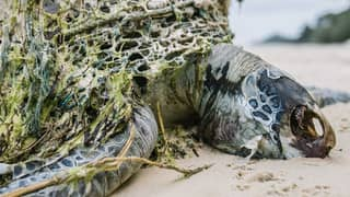 Turtles Found Dead On Australian Island Due To Plastic And Fishing Rubbish