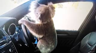 Koala 'Lucky' To Be Alive After Six-Car Pile Up In South Australia