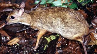 Smallest Deer In The World Weighs Just Four Pounds