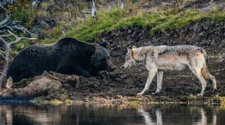 Photographer Captures Incredible Encounter Between Grizzly Bear And Wolf