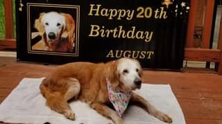 World's Oldest Golden Retriever Celebrates Her 20th Birthday