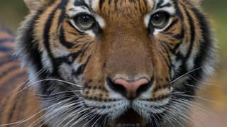 Tiger At Bronx Zoo Has Tested Positive For Coronavirus
