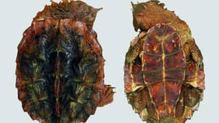 New Species Of Turtle Discovered Looks Like A Muddy Rock