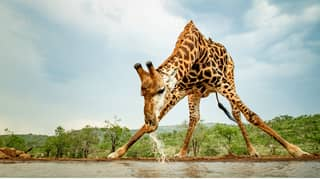 Photographer Captures Hilarious Pictures Of Giraffe Doing The Splits To Get Water