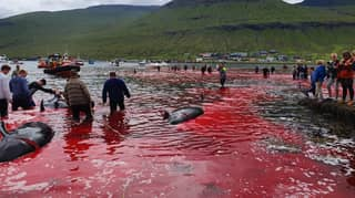 People Watch Sea Turn Red As 23 Whales Are Killed On Faroe Islands