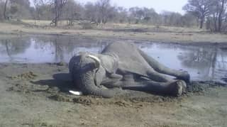 Mystery As 11 Elephants Found Dead In Zimbabwe Forest