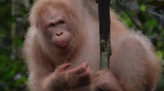 Rare Albino Orangutan Spotted In Rainforest One Year After Her Release