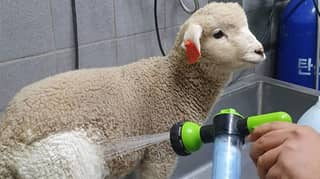 People Amazed To See Before And After Photos Of Sheep Getting Showered