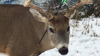 'Carrot The Magic Deer' Discovered With Bolt Through His Head