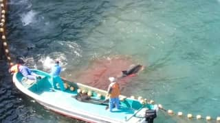 Sea Turns Red With Blood As Dolphins Are Butchered In Japan