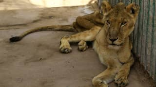 Shocking Photographs Show Lions Starving In Sudan Zoo