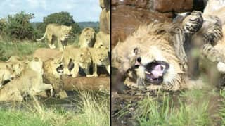 Pride Of Lionesses Attack Male Lion In Front Of Shocked Safari Park Visitors
