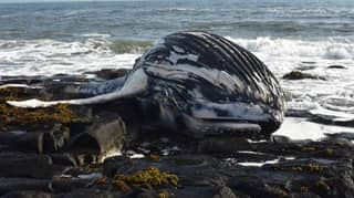 Body Of Humpback Whale Washes Up On UK Beach