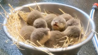 Five New Otter Pups Have Been Born At Auckland Zoo