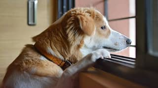 Aussies Warned Their Dogs Will Experience Separation Anxiety When You Return To The Office