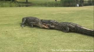 Golfer Films Two Large Alligators Fighting On South Carolina Golf Course