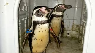 Ex-Zookeeper Who Stole Penguins And Tried To Sell Them On Facebook Jailed