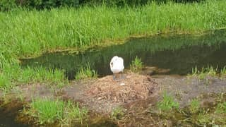 Swan 'Dies Of A Broken Heart' After Eggs And Nest Destroyed