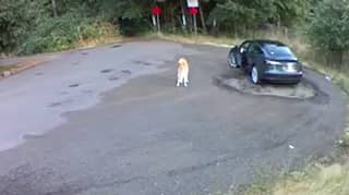 Heartbreaking Clip Shows Golden Retriever Abandoned By Its Owner