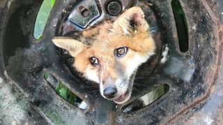 RSPCA And Firefighters Called After Fox Gets Head Stuck In Tyre