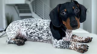 Dachshund Puppy Looks Like Mini Dalmatian Or Cow Due To Piebald Fur