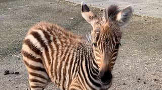 Baby Zebra Dies After Being 'Spooked' By Firework