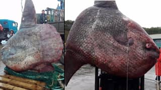Fisherman Catch Rare One-Tonne Fish That Could Make 1170 Portions Of Fish And Chips