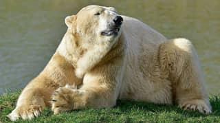 The UK's Oldest Polar Bear Has Sadly Died