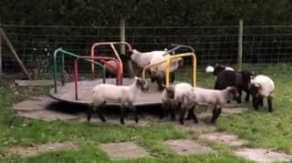 Lambs Play On Children's Roundabout During Coronavirus Lockdown