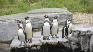 Supermarket Iceland Adopts All Of The Humboldt Penguins At Chester Zoo