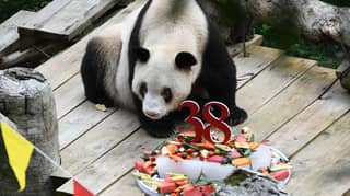 World's Oldest Panda In Captivity Dies Aged 38 And Four Months