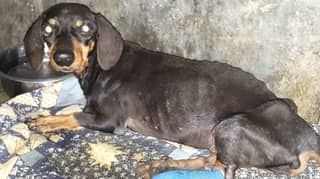 Skeletal Dachshund Found In Remote Sri Lanka Now Living Life Of Luxury In UK