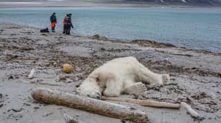 Polar Bear Shot Dead After Attacking Cruise Ship Worker In Norway