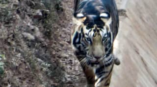 Amateur Photographer Captures Rare 'Black' Tiger In India