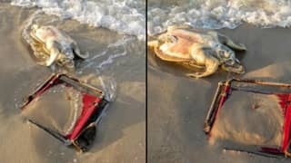 Critically Endangered Sea Turtle Found Dead With Beach Chair String Wrapped Around Its Neck