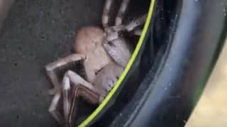 Man Who Felt Tickling In Earmuffs Discovers Huge Huntsman Spider Inside
