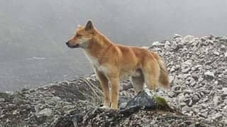 Ancient Breed Of Singing Dog Seen In Wild For First Time In 50 Years