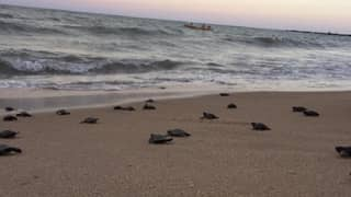 Endangered Hawksbill Turtles Hatch On Beach Deserted Due To Covid-19 In Brazil