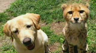 Cheetah Given Emotional Support Dog At Zoo Because She's So Nervous